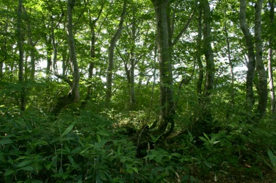 うっそうと生い茂るブナの森
